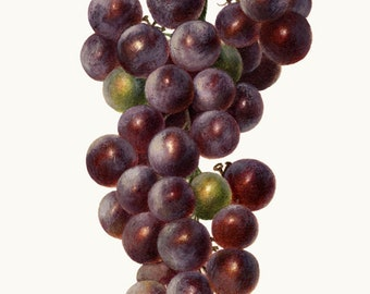 Concord Grapes Clipart, Digital Download, Vintage Watercolor Fruit Illustration, Commercial Use, Transparent Background PNG File