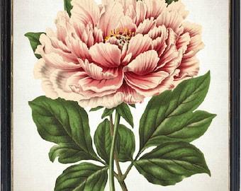 Peony Art Printable, Pink Tree Peony Vintage Flower Illustration, Botanical Print, INSTANT DOWNLOAD