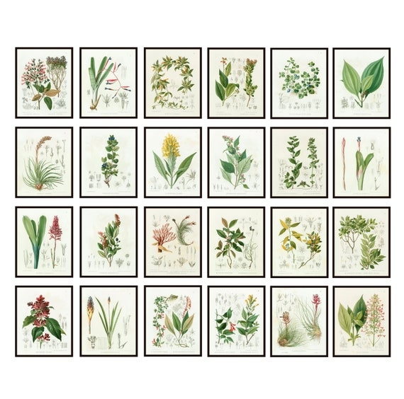 Common Wall Flower Vintage Botanical Study Print in Black Beaded Frame
