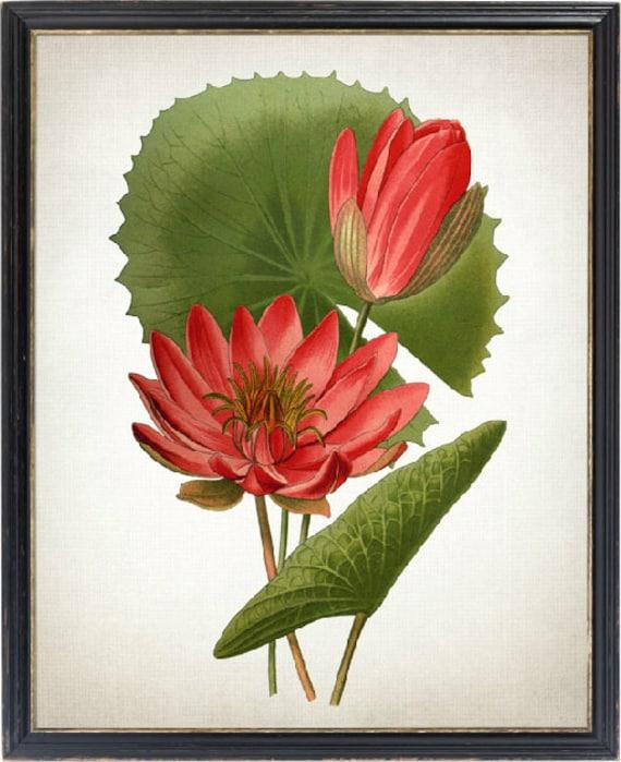 Egyptian Water Lily Print Vintage Lotus Flower Illustration Etsy