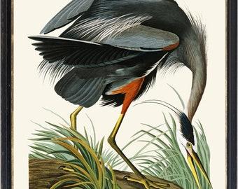 Audubon Great Blue Heron Art Print, Vintage Bird Illustration, 11x14 Inch Wall Art Printable INSTANT DOWNLOAD
