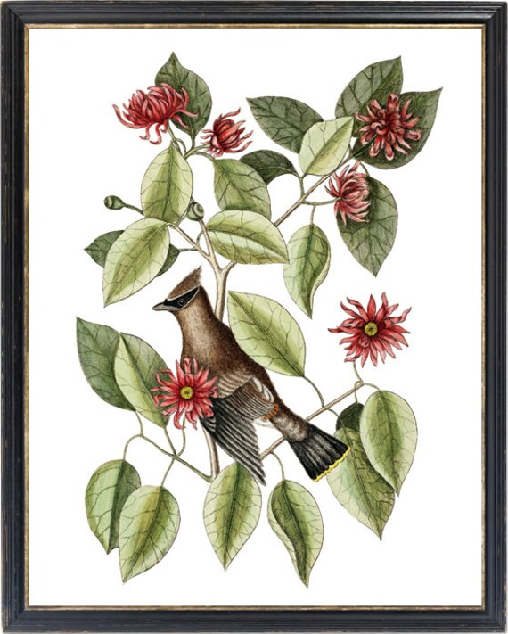 Mark Catesby,Red bird on green leaves red bird print,Framed Prints,wall art prints,Hanging Canvas print,xf2935