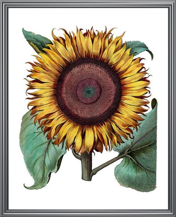 photo regarding Sunflower Printable referred to as Sunflower Printable Artwork, Common Flower Case in point, Botanical Wall Artwork Print, Fast Obtain