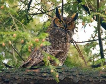 Great Horned Owl / Photograph / Owl Photo / Owl Print / Kentucky / Owl Photography / Owl Art / Owl Decor / Wildlife / Louisville / Raptor