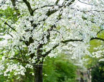 Flowering Dogwood / Flower Photography / Print / Spring / Nature Photography / White Wall Decor / Home Decor / White Flowers / Flower Photo