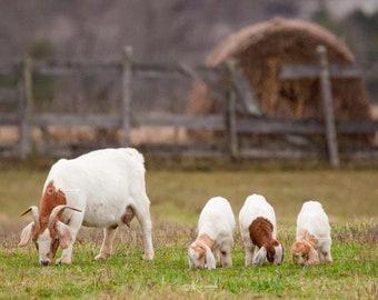 Baby Goat Print / Baby Farm Animal / Nursery Decor / Mother's Day Gift / Baby Goats / Nursery Wall Decor / Nursery Wall Art / Triplet / Baby