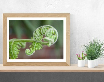 Fiddlehead Fern Fine Art photo Print