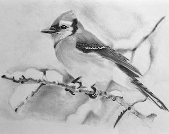 Blue Jay Pencil Drawing