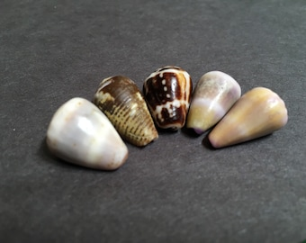 Colorful Hawaii cone shells set of 5
