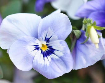 Fine Art Photography, Lavender Pansy, Landscape, Pansy wall decor, Pansy wall art, flower photography , flower art