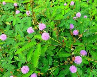 Mimosa pudica | Etsy