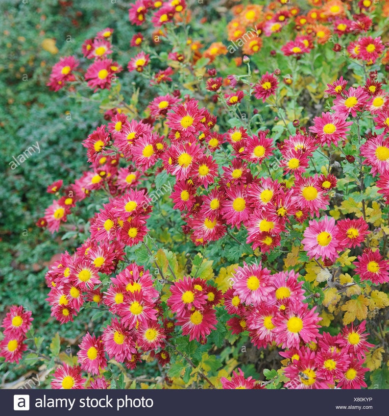 Atemberaubend 300 seeds GARDEN MUM MIX Chrysanthemum indicum hortorum | Etsy @KZ_49