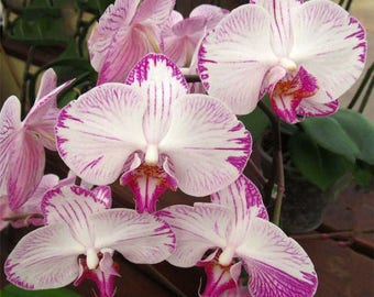Phalaenopsis Orchids Seeds Butterfly Orchid Flowers Seed 200pcs