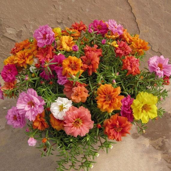 100× FRESH FLOWER SEEDS MOSS ROSE DOUBLE MIX PORTULACA GRANDIFLORA GARDEN NICE