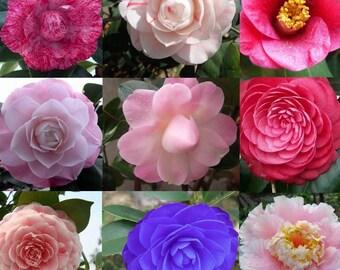 10x Camellia Japonica Tea Plant Flower Seeds Balsam Office Garden Home