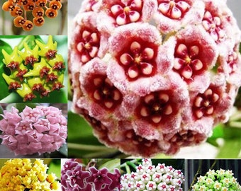 300× Mixed Color Hoya Seeds Garden Supplies Decoration Potted Flower Seeds