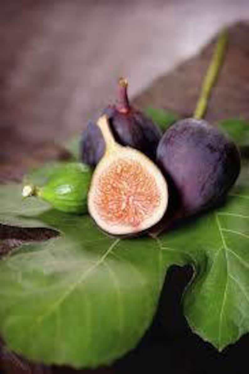 30pcs Fig Tree Seeds Greek Honey Fig Amazing Variety Exotic Delicious Fruit