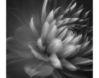 BOLD BOTANICALS . Darkened Dahlia . Hand Printed and Signed by the artist . Developing Light Photographic Arts . jahnavi . i2iPhoto