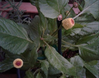Organic Spilanthes Acmella/toothache plant/buzz buttons/ dragonfly flower
