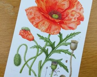 PRINT Common Poppy - A Botanical Study