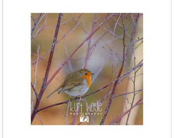 Robin Red Breast in Winter