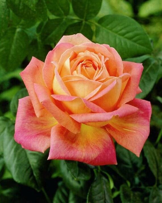 Closeup colorful roses (pink, yellow, orange). — Stock ...   Orange And Pink Roses