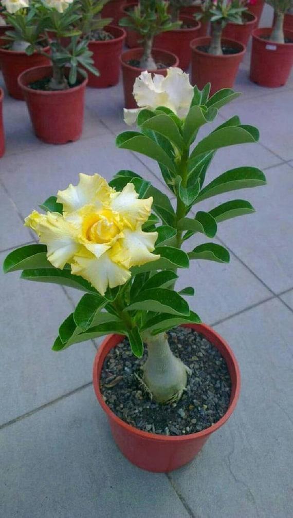 2 Rare Yellow White Desert Rose Seeds Adenium Obesum