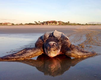 Nesting Leatherback Sea Turtle on Sea Island