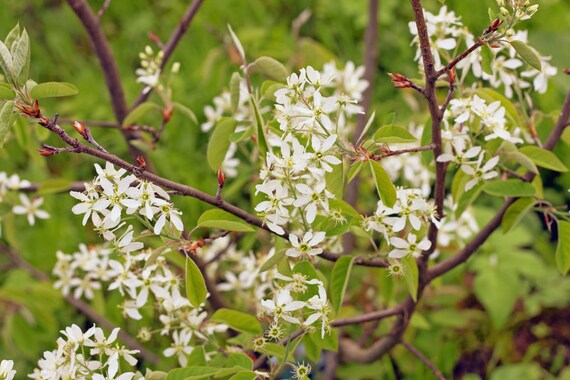 June Berry Bush Amelanchier Canadensis Juneberry White Etsy