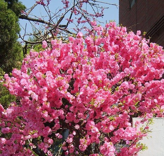 Rose tree of china flowering almond beauty bush small tree etsy mightylinksfo