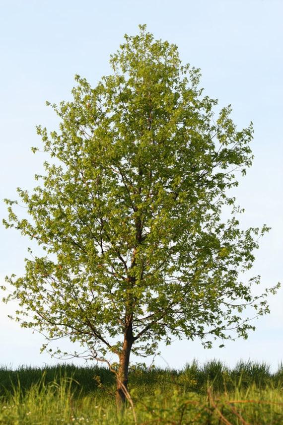 Hybrid Poplar Tree Hybrid Poplar Tree Fas...