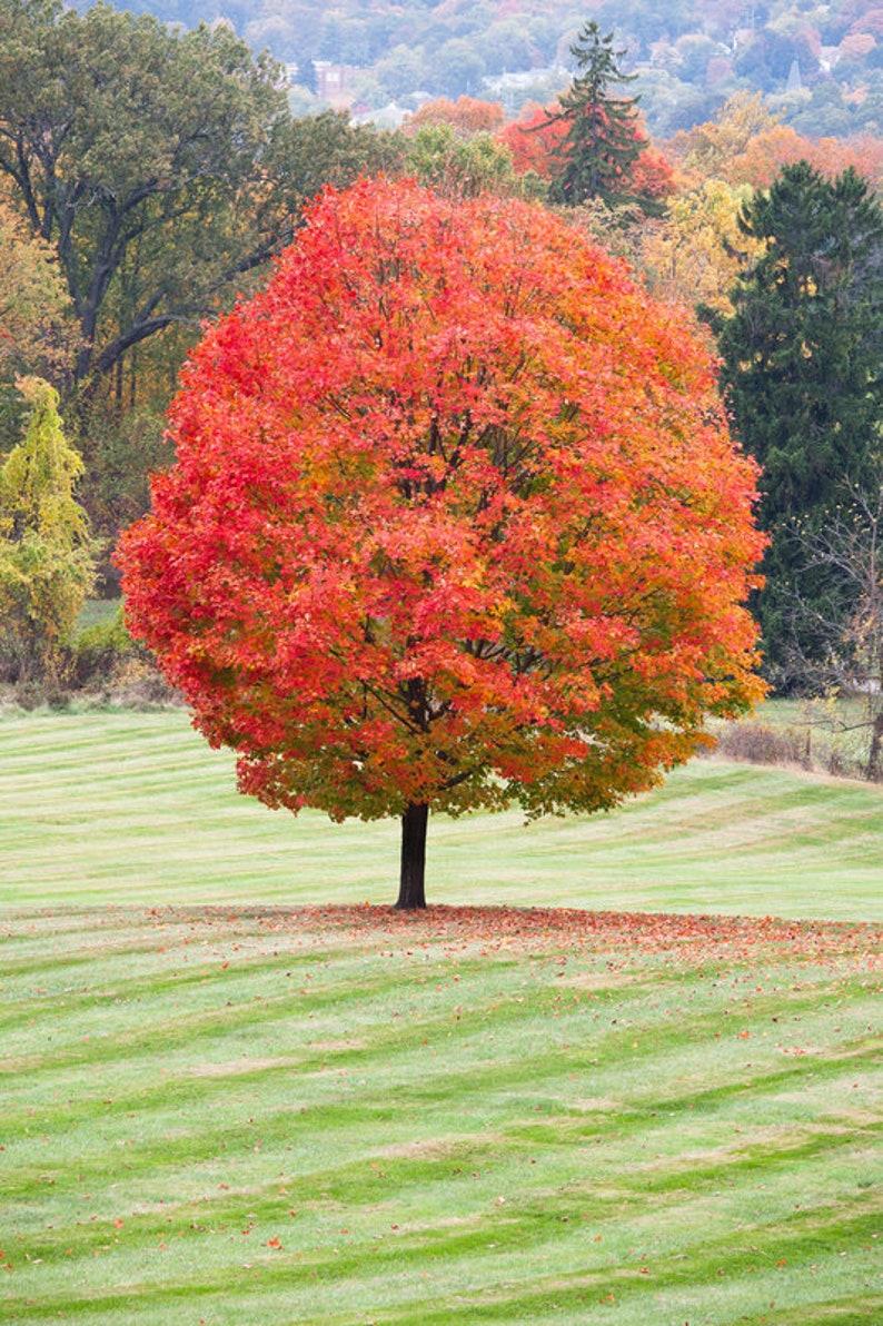 Sugar Maple Tree Maple Syrup Shade Tree Long Life Autumn Etsy