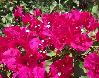 "Bougainvillea ""Barbara Karst"" from the finest growers in Florida"
