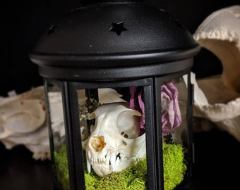 Real cat skull floral lantern curio display
