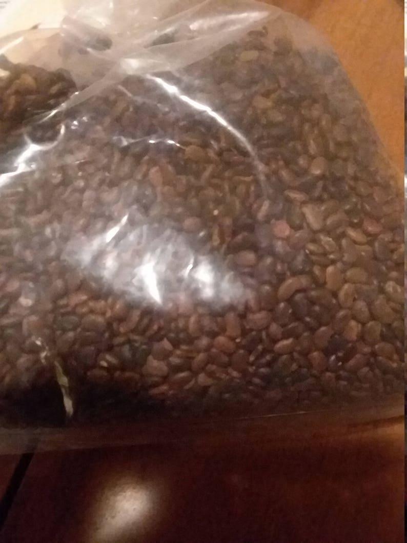 100 black locust tree seeds