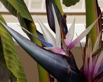 Bird paradise plant etsy bird of paradise live plant exotic white flower strelitzia reginae mightylinksfo