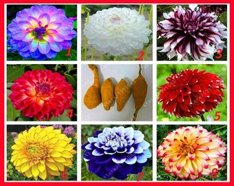 Garden Supplies Kind-Hearted 2 Pieces Rare Double Tulip Bulbs Available Tulips Variety Fresh Bulbous Root Flowers High-grade Flower Bonsai Not Plants