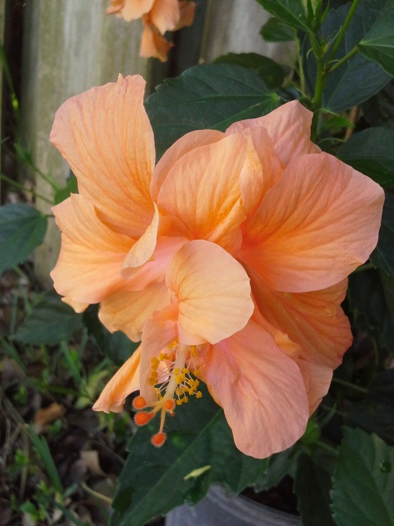 Double Orange Peach Hibiscus Well Rooted 1 Live Starter Etsy