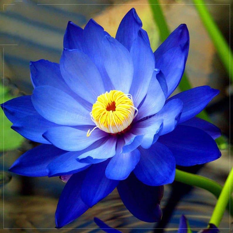 10 Color Nelumbo Nucifera Imported Lotus Flower Seeds 2 Etsy