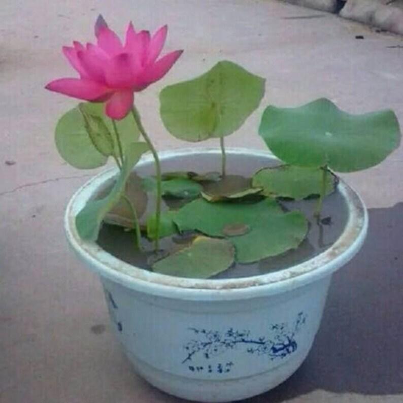10pcs Lotus Seeds Aquatic Plants Flower Seed Bowl Lotus Etsy