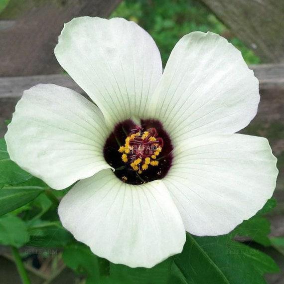20pcs Hibiscus Rosa Sinensis Perennial Flower Seeds Bonsai Big Etsy