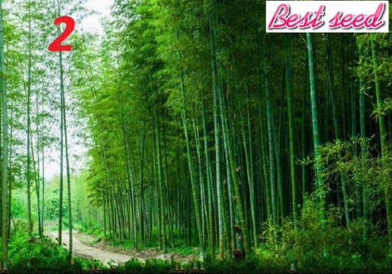 Seltene Lilane Timor Bambus Samen Bambusa Schwarzen Bambus Etsy