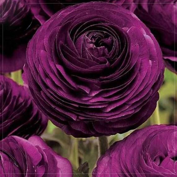Ranunculus rare purple perennial flower seeds 20 seeds etsy image 0 mightylinksfo