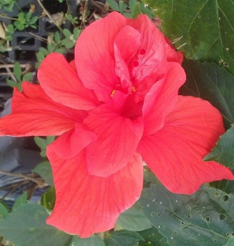 2 Double Red Hibiscus Well Rooted Live Starter Plant 4 Etsy