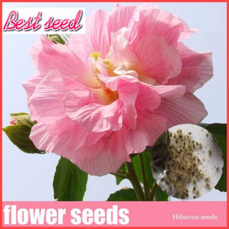 100 Giant Hibiscus Flower Seeds Diy Home Garden Flower Plant Etsy