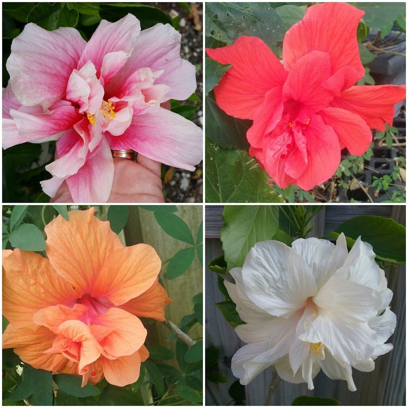 4 Tropical Doubles Hibiscus Well Rooted Live Starter Plant Etsy