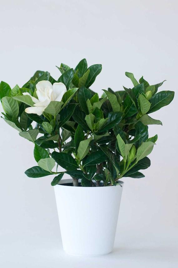 Everblooming Gardenia Bush, Veitchii Plant