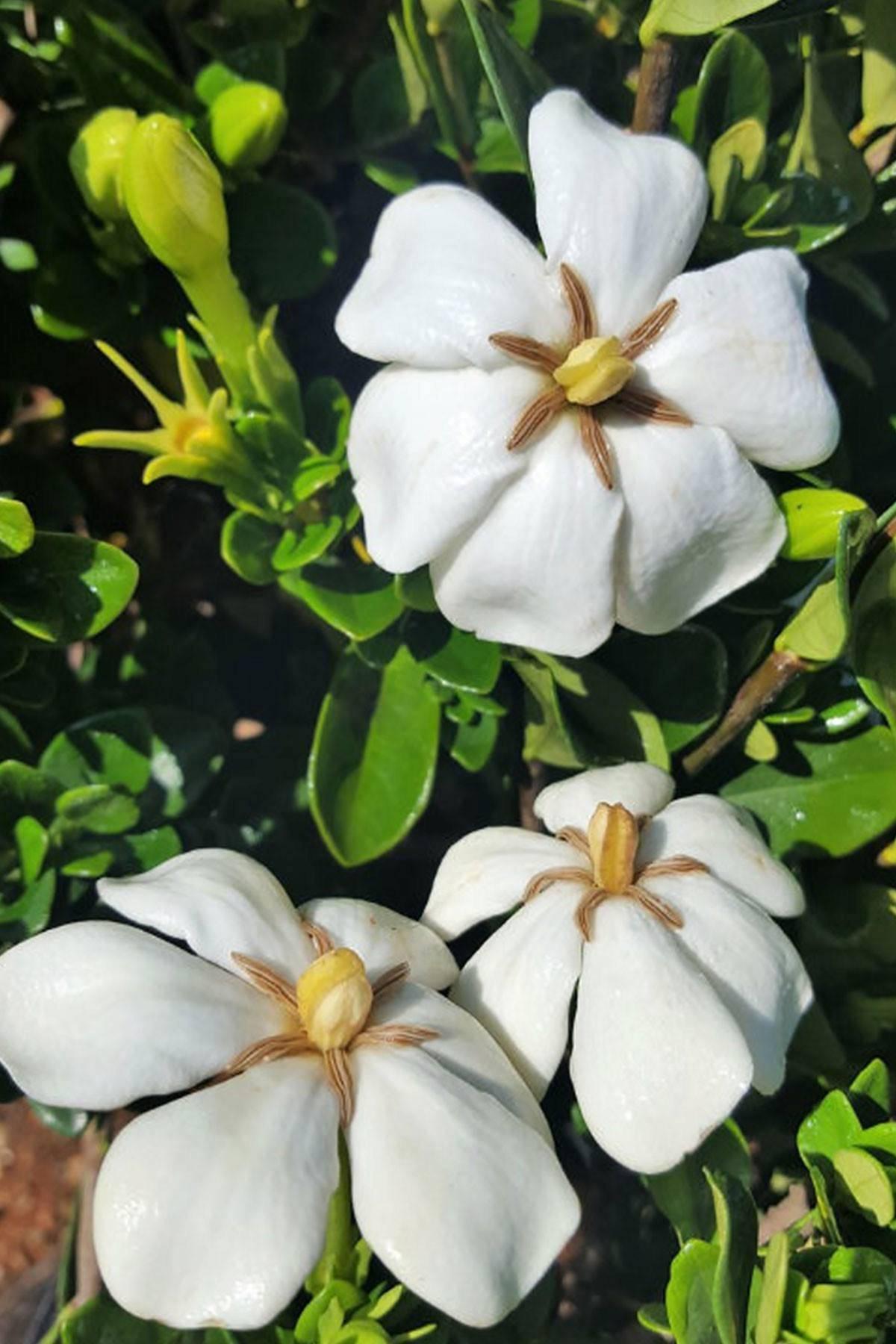 Gardenia Hardy Daisy Fragrant Flowers Evergreen Etsy