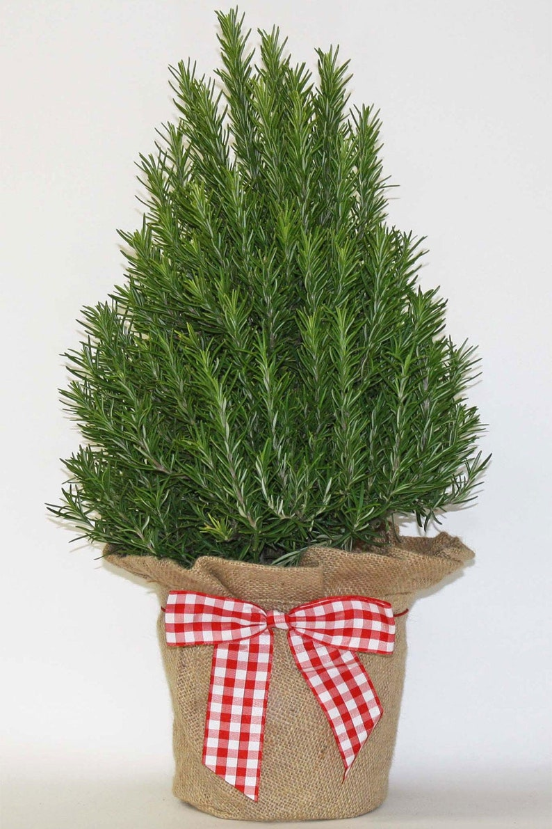 Hardy Rosemary Tree, (in Burlap & Gingham Bow) (Free 3-Day Shipping)