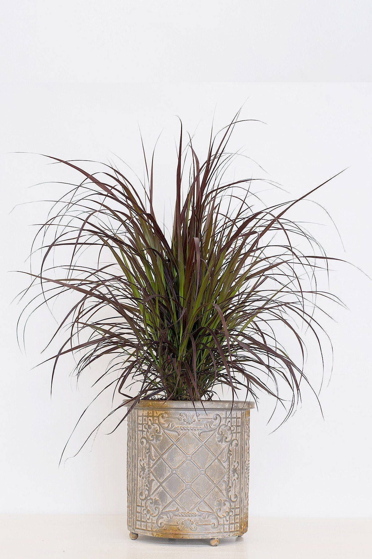 Purple Fountain Grass Ornamental Grass Rose Pink Plumes Etsy